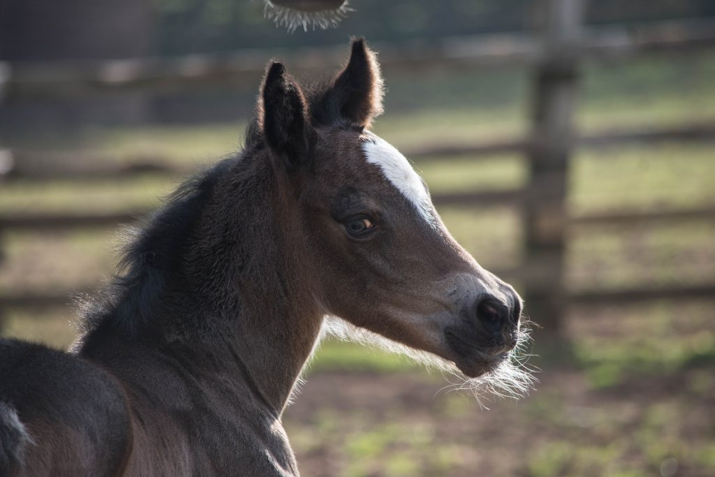 Fourseasons Stud Filly foal